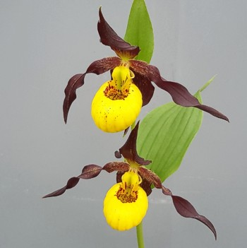 Cypripedium Chauncey