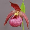 Cypripedium cordigerum x hotei