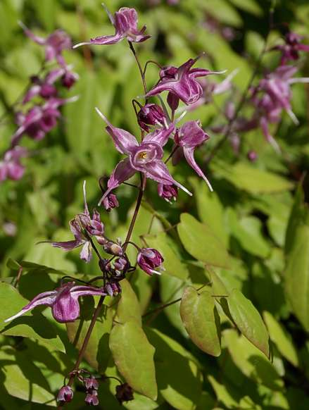 Epimedium grandiflorum 'Rubinkrone'