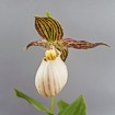 Cypripedium farreri