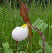 Cypripedium John Massay