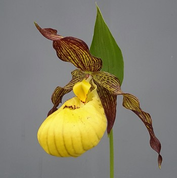 Cypripedium Robin Lee