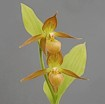 Cypripedium shanxiense